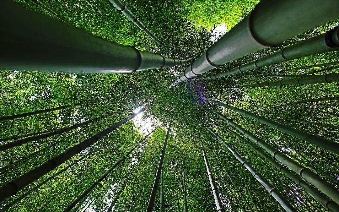 Connais-tu l'histoire du bambou chinois géant?